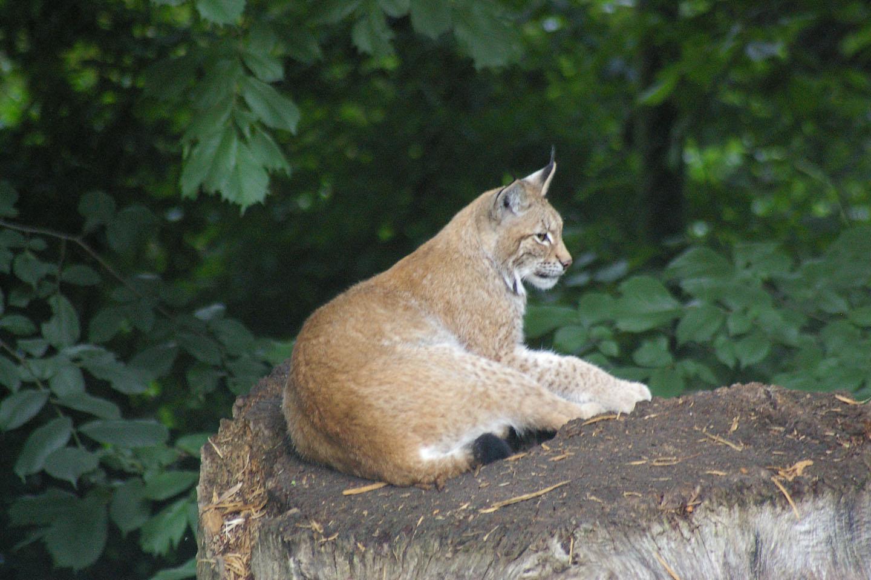 cougar i dalarna
